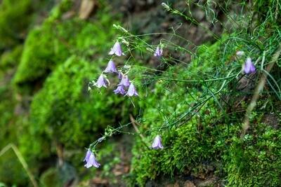 Glockenblume nach dem Regen auf Moos