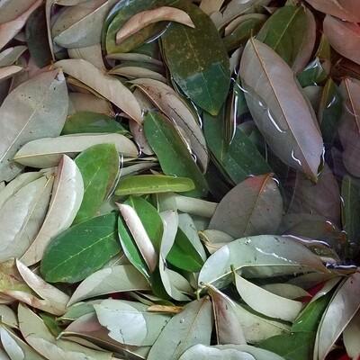 Jamaican Soursop leaves 70g