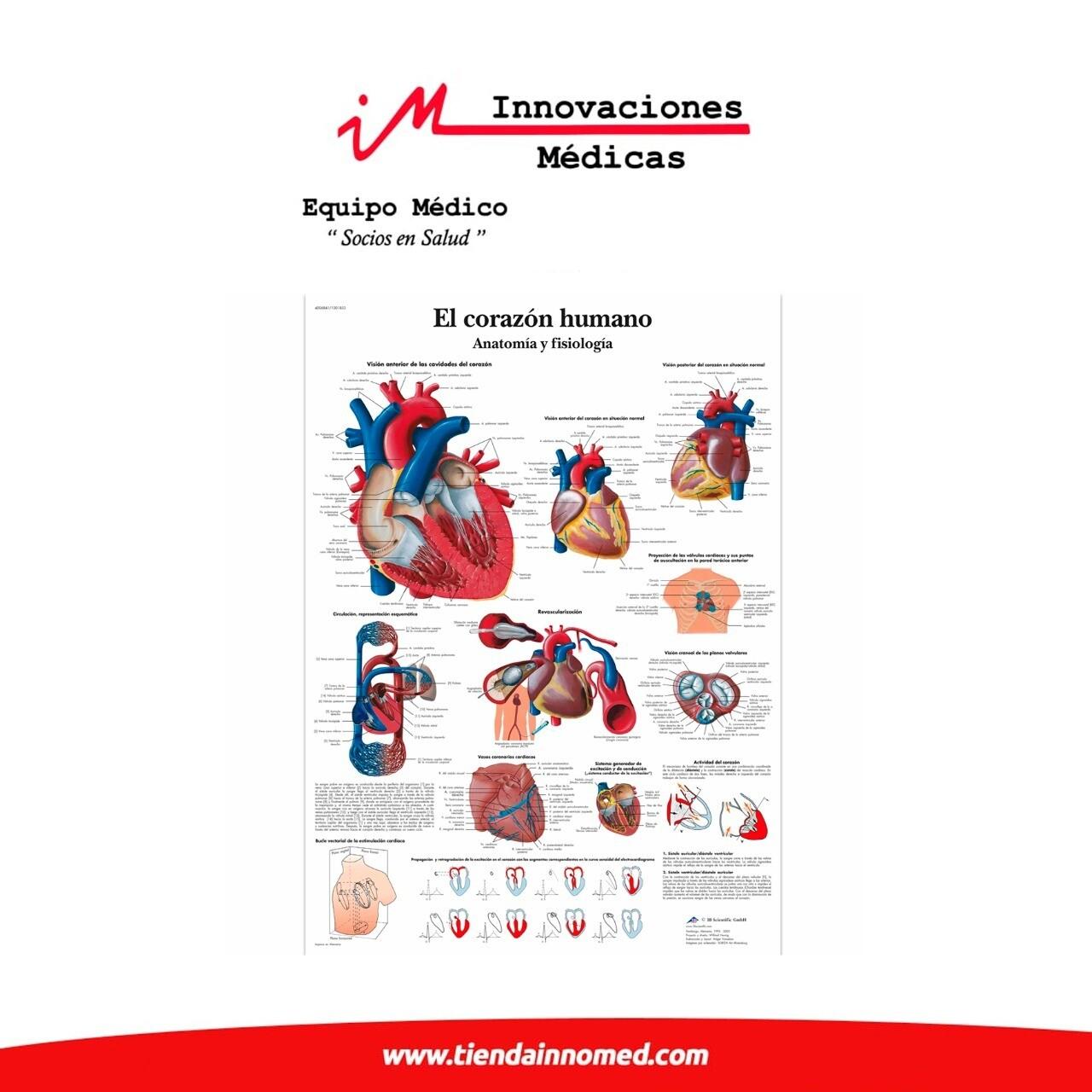 Lámina: El corazón humano anatomía y fisiología