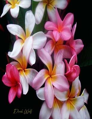 Plumeria in Hawaiʻi