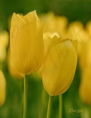 Yellow Tulipa 'Yellow Purissima'