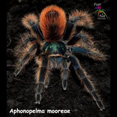 Aphonopelma mooreae (Mexican Jade Fuego Tarantula)  1