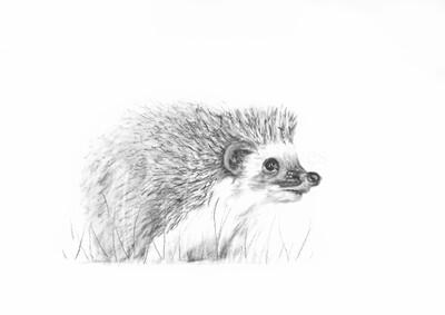 'Hedgehog'