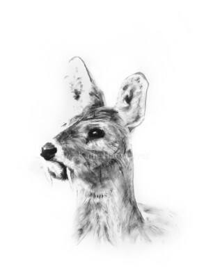'Chinese Water Deer' - A4 Signed Giclée Print