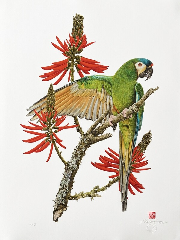 Ararinha-maracanã no mulungo-do-litoral
