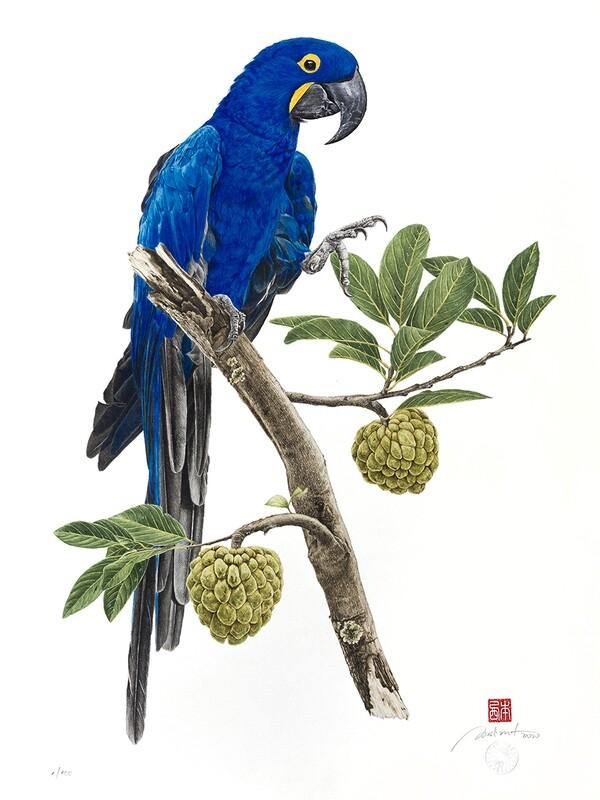 Arara-azul-grande e fruta-do-conde