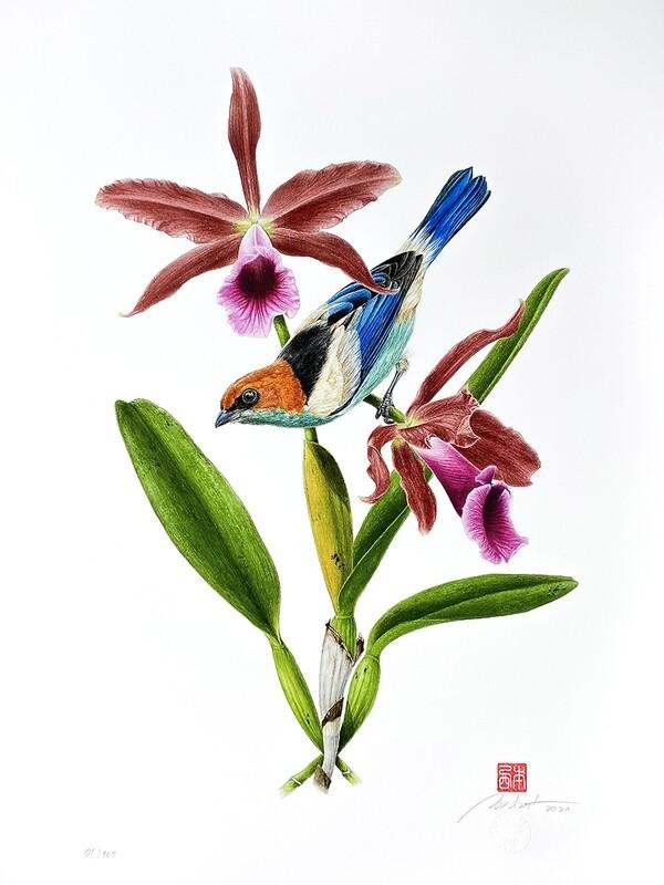 Série aves e orquídeas: Saíra-sapucaia