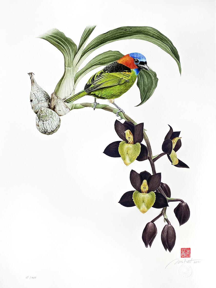 Série aves e orquídeas: Saíra-militar