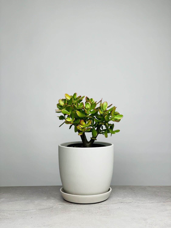 Medium Potted Jade