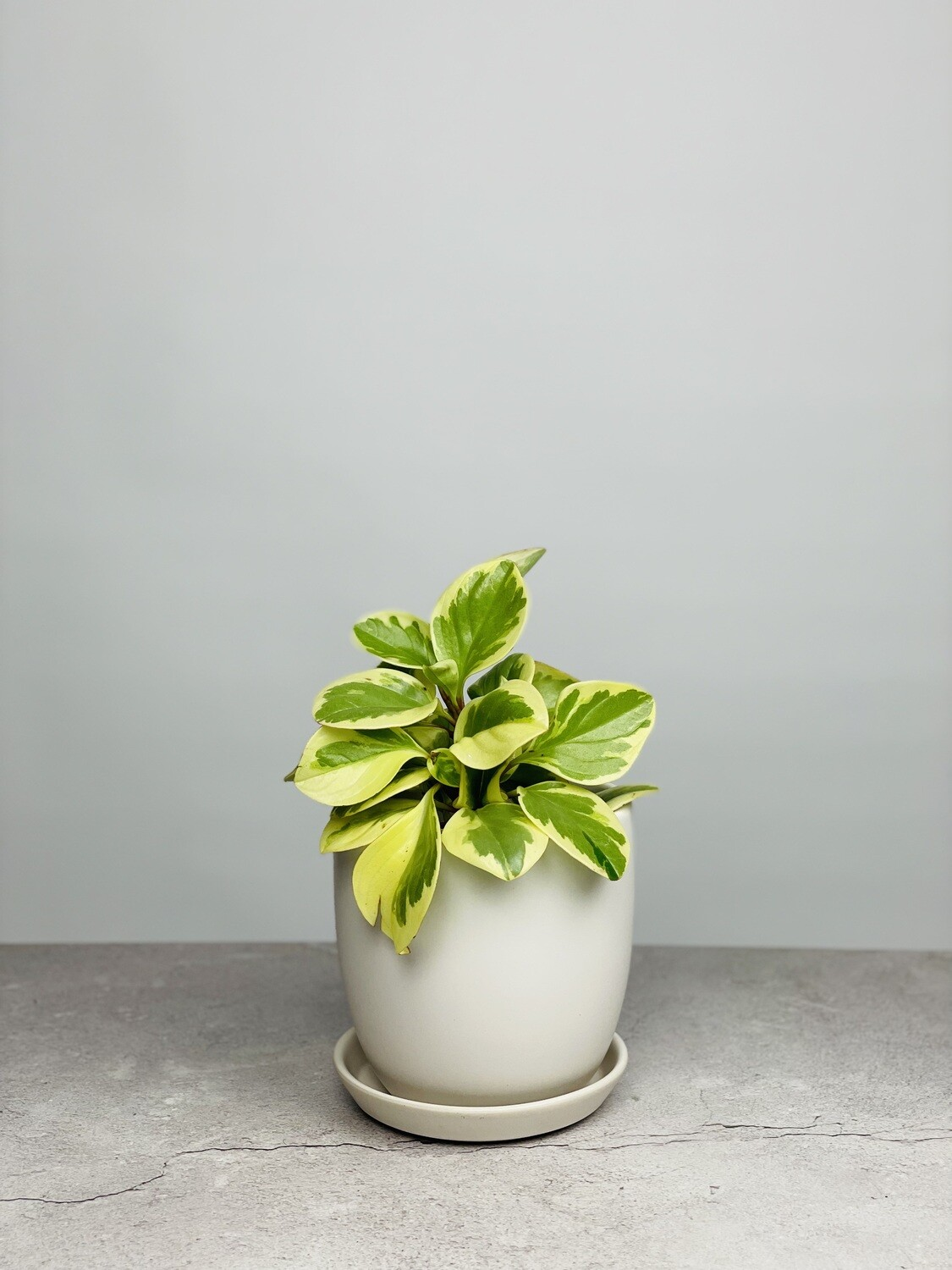 Small Potted Peperomia
