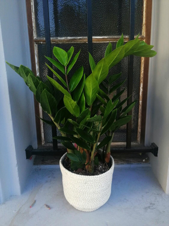 Plante verte Zamioculcas