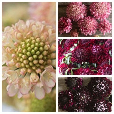 Scabiosa Seed Assortment