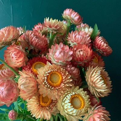Apricot Mix Strawflower Seeds