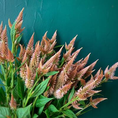 Terra Cotta Celosia Seeds
