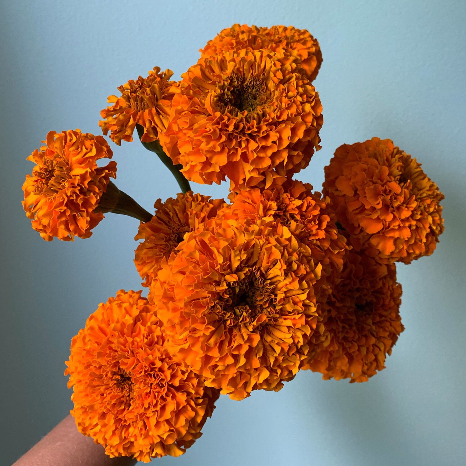 Giant African Marigold Seeds