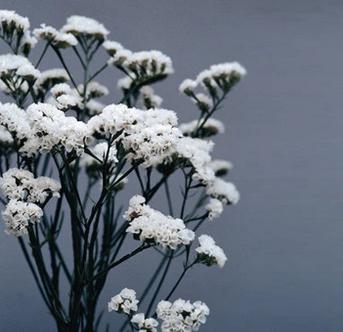 White Seeker Statice Seeds