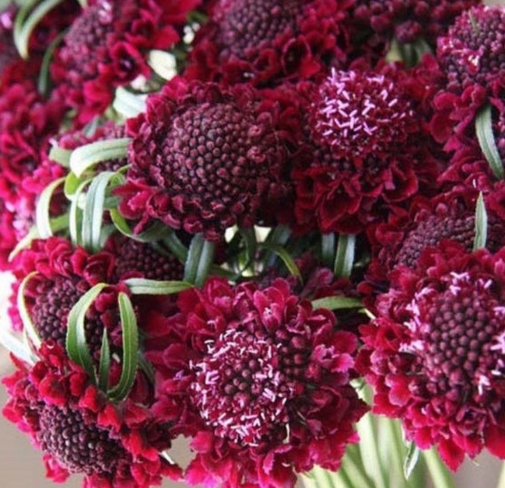 Merlot Scabiosa Seeds