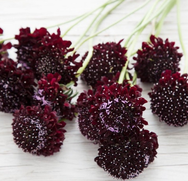 Black Knight Scabiosa Seeds