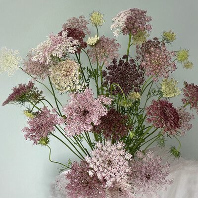 Chocolate Queen Anne's Lace Seeds