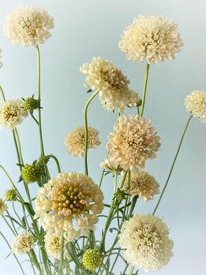 Fata Morgana Scabiosa Seeds
