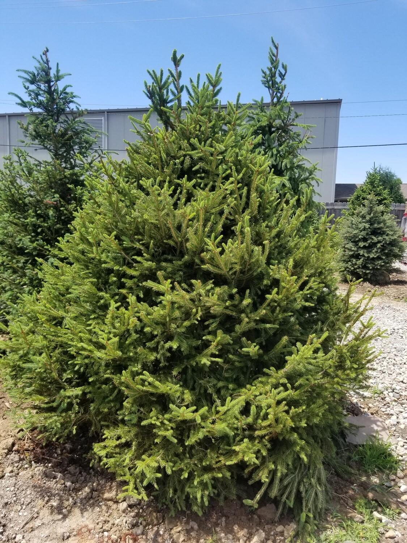 Norway Spruce Tree 10'-12' B&B
