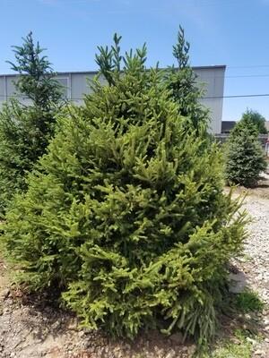 Norway Spruce Tree 7'-8'