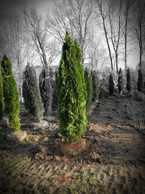 Emerald Green Arborvitae 7' B&B