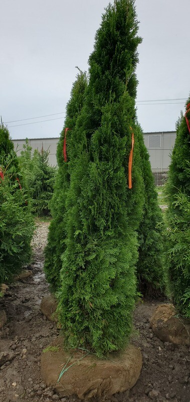 Emerald Green Arborvitae 8' B&B