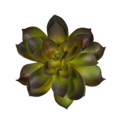 Succulant Echeveria- Green/Purple 4.5 inch