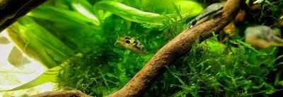 Pygmy Puffer