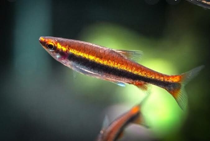 Red Pencilfish Tetra