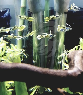 Tiger Endler Trio Guppy Pairs (2 Female & 1 Male)