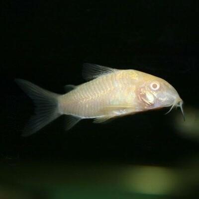 Albino Corydora