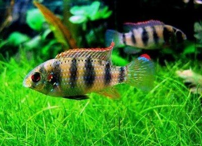 AnomalochromisThomasi / African Butterfly Cichlid