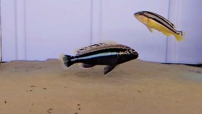 Melanochromis Auratus Malawi Cichlid