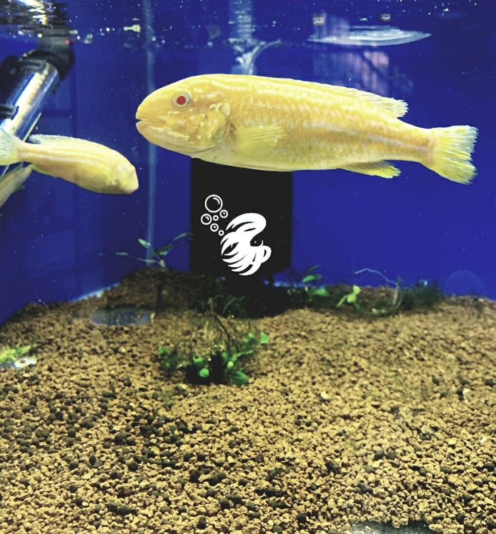 Albino Melanochromis Auratus (12cm)