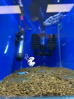 Powder Blue Japan Endler Guppy Pair