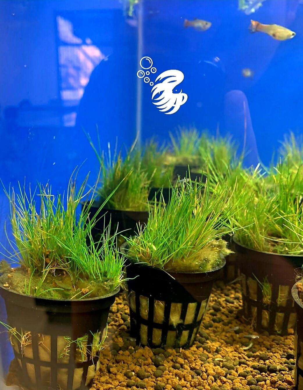 Eleocharis Acicularis (hair grass)