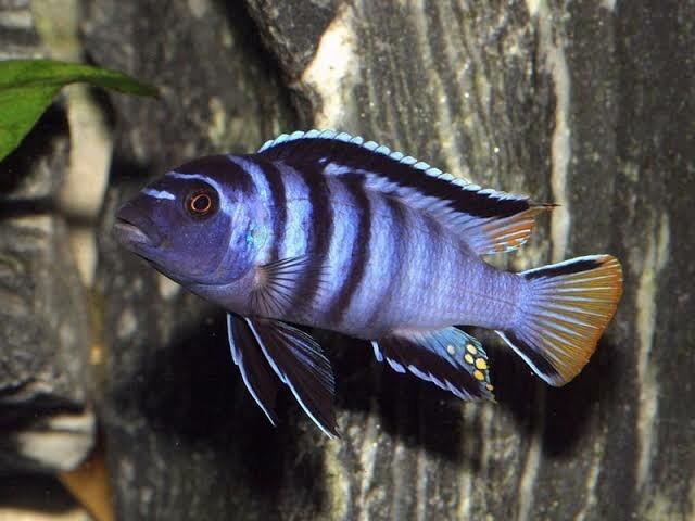 Pseudotropheus Elongatus Malawi