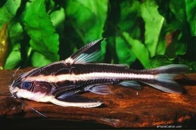 Striped Raphael Catfish / Striped Talking Catfish