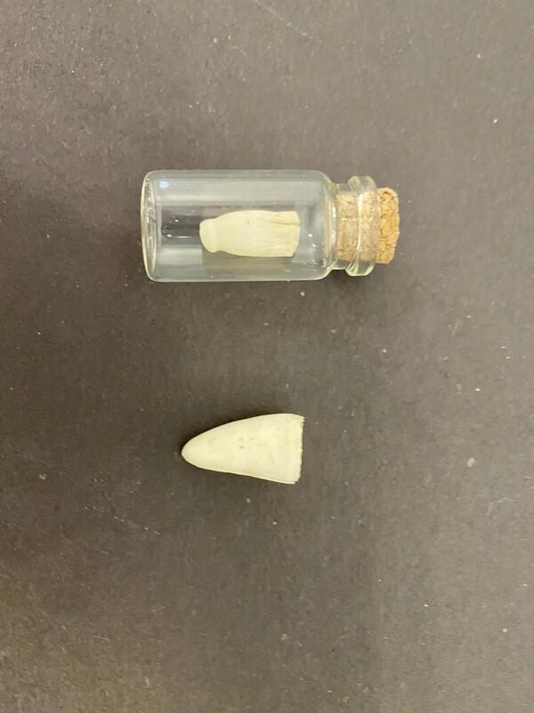 Alligator Tooth in Jar