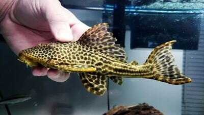 Hypostomus cf. cochliodon  L050 - (Spotted Humpbacked Pleco)