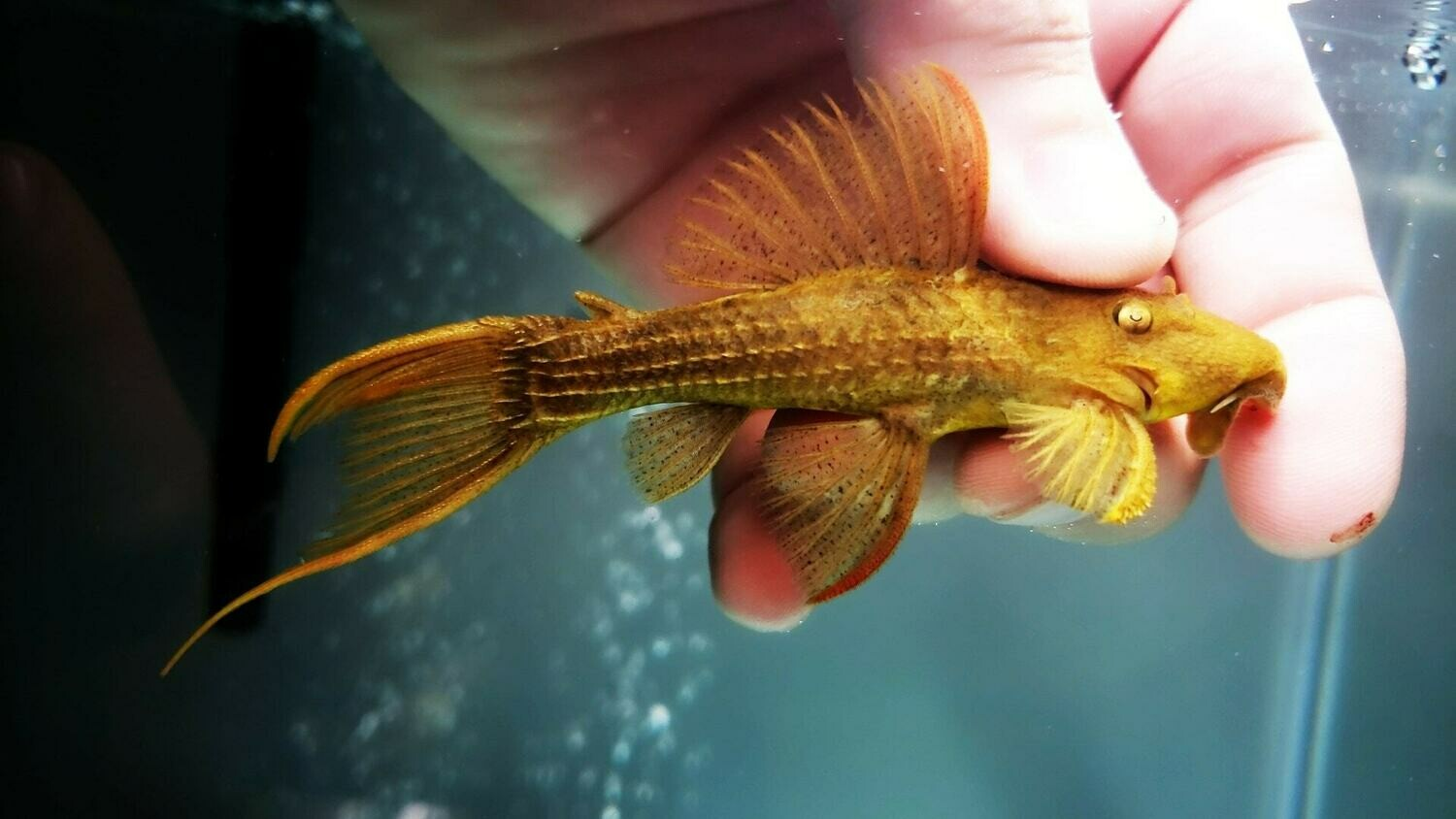 Pseudacanthicus pitanga L24 - (Red Fin Cactus/Flame Pleco)