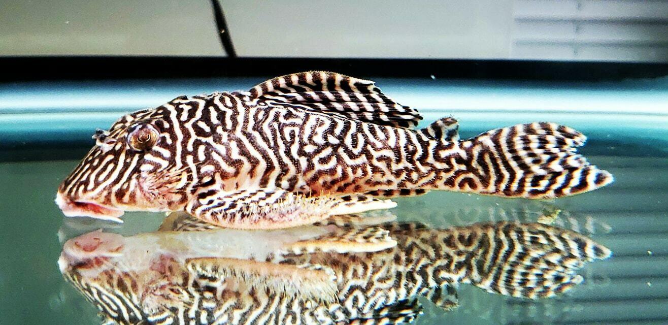 Hypancistrus sp. (L401) - (Rio Curua Pleco)