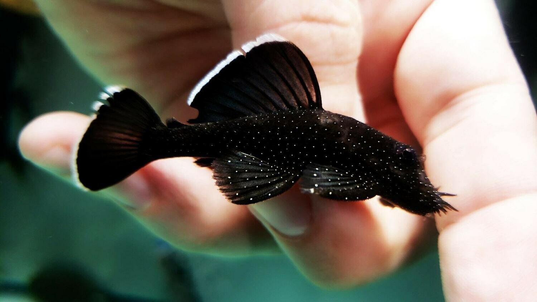 Ancistrus dolichopterus L183 - (Starlight Bristlenose Catfish)