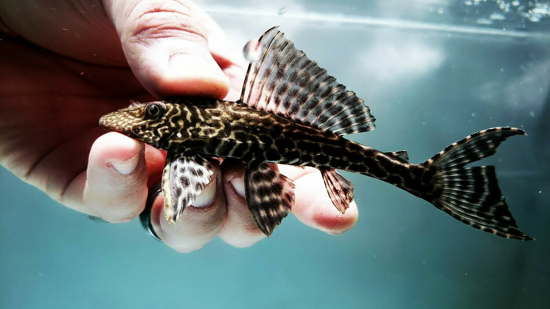 Pterygoplichthys disjunctivus - (Vermiculated Sailfin Catfish)