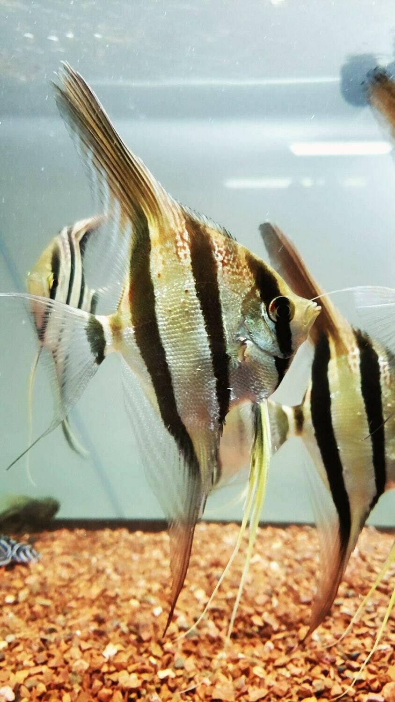 Pterophyllum altum (Angelfish)