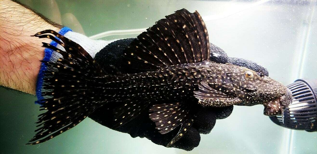 Pseudacanthicus sp. L452 (Mustang Cactus Pleco)