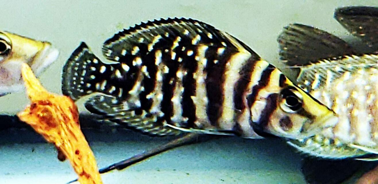 Altolamprologus calvus - Ink Fin Calvus
