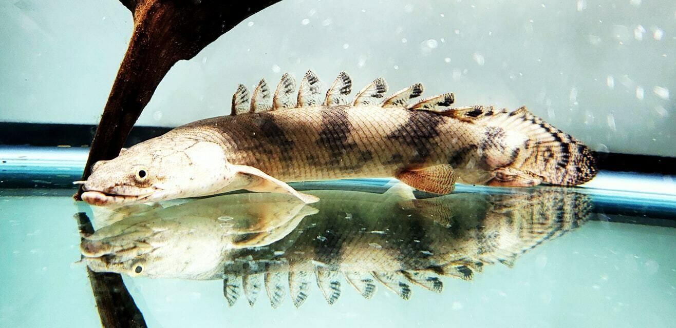 Polypterus endlicheri endlicheri (Endli Bichir)